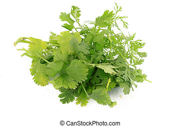 Bunch of cilantro or coriander - Bunch of green cilantro or...
