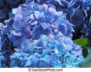 Blue Hydrangea - Pots of lovely blue hydrangea for sale - a...