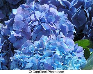 Blue Hydrangea - Pots of lovely blue hydrangea for sale - a...