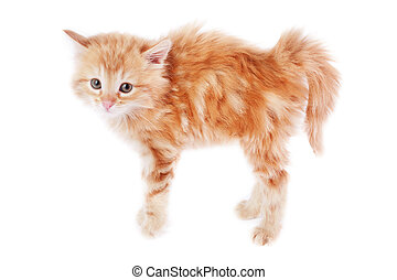 Fear - Pretty foxy-red bristling kitten on white background