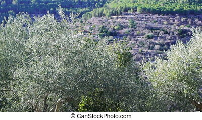 Olive trees in Holy Land - Olive trees in the mountains of...