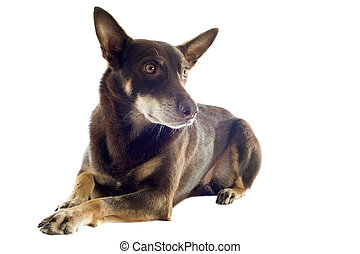 australian kelpie - Isolated cute australian kelpie dog over...