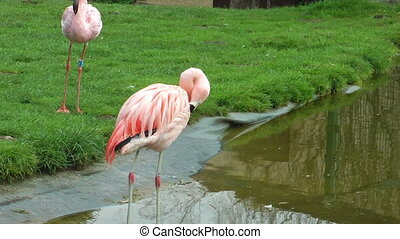 Flamingo birds drinking water