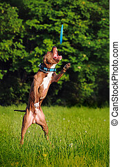 Pitbull catching frisbee in jump in summer
