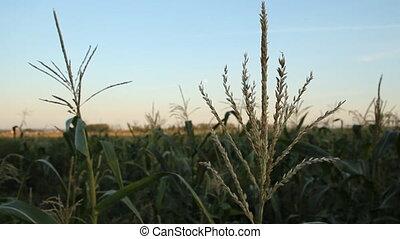 Corn - corn field