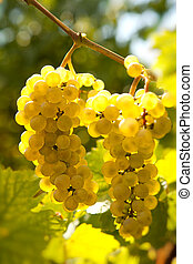 Backlit grapevine - Backlit closeup of grapes hanging on a...