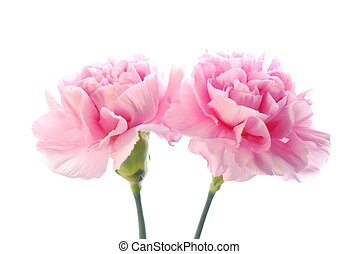 pink carnation - Close-up of pink carnation against white...