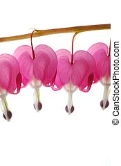 pink dicentra - bleeding heart flowers on a row against...