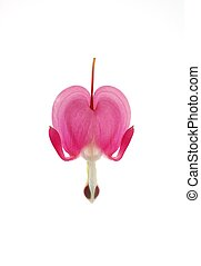 pink dicentra - single bleeding heart flower against white...