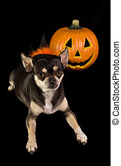 Halloween Chihuahua - Cute Chihuahua dressed as witch for...