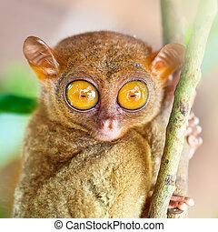 Phillipine tarsier - Funny Philippine tarsier Tarsius...