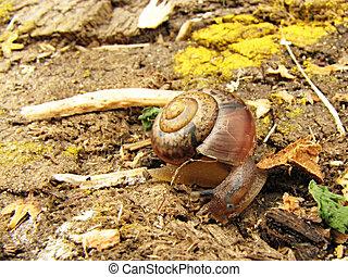 Helix pomatia - A helix pomatia (snail) crawling