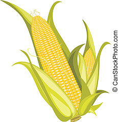 Two corncobs isolated on the white. Vector illustration