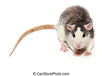 Curiosity rat