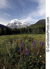 Mountain Robson - View of Mt Robson with a field of flower...
