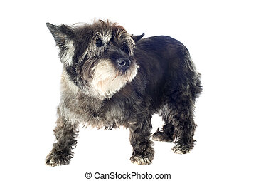 cairn terrier - senior cairn terrier in front of a white...
