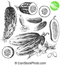 Cucumbers - Highly detailed hand drawn illustrations of...