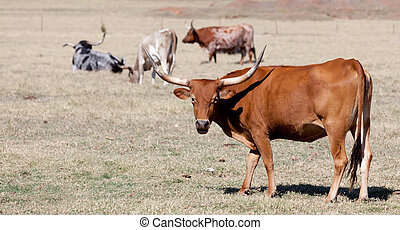 A longhorn bull in a field