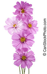 cosmos - Studio Shot of Pink Colored Cosmos Flowers Isolated...