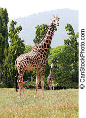 Two african origin giraffe standing in an enclosure at...