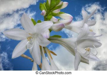 Hosta Blosoms - Hostas blooming under a bright blue sky