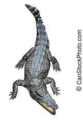Asiático, Crocodilo, isolado, branca, fundo
