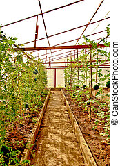 The Nursery water melon on green house
