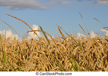 Wheat - Closeup of wheat in a wheat field with blue sky.