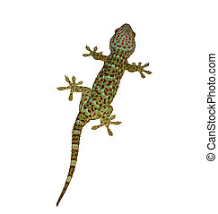 The Gecko isolated on white background