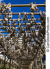 Stockfish - Traditional way of drying stockfish on Lofoten...