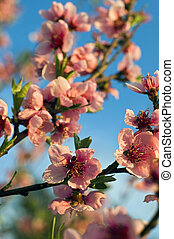 Peach flower - Pink peach tree blossoms against the blue sky