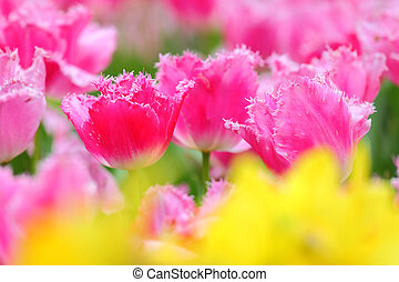 tulip in flower field