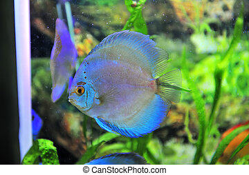 south american discus fish