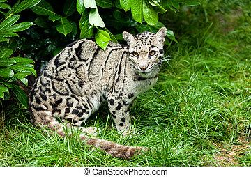 Clouded Leopard Sitting Under Bush - Female Clouded Leopard...
