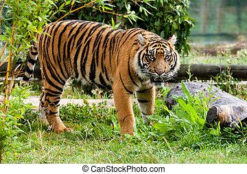Sumatran Tiger Growling in Greenery