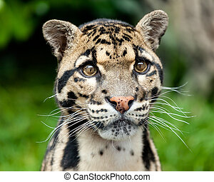 Head Shot of Clouded Leopard - Head Shot Portrait of...