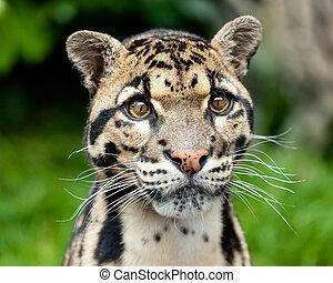 Head Shot of Clouded Leopard - Head Shot Portrait of...