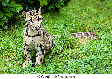 Clouded Leopard Stitting on Grass Pensive Neofelis Nebulosa
