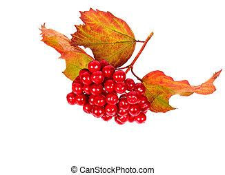 Berries of  Viburnum with leaves