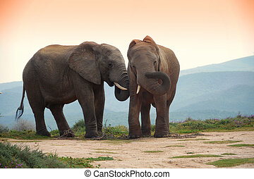 two elephants in addo elephant park, south africa - two...