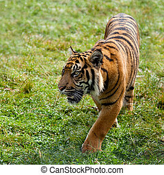 Sumatran Tiger Pacing Through Grass Panthera Tigris Sumatrae