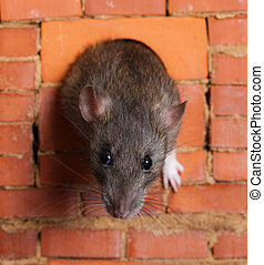curiosity - the rat looks out of a window in a brick wall