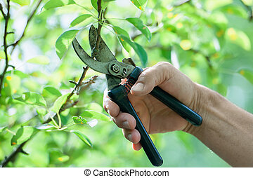 Pruning of  trees with secateurs in the garden
