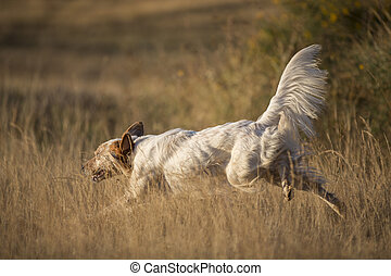 side view of english setter - side view of white english...