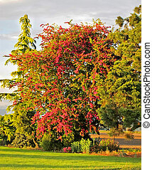 Blooming Pink Hawthorn Tree - Crataegus - This is a pink...