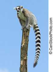 Ring-tailed lemur in a tree (zoo, Holland)