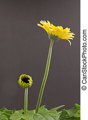 Yellow gerbera flower isolated on a grey background