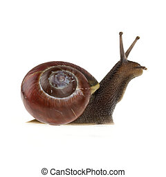 Garden snail Helix aspersa isolated on a white background