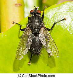 Housefly on a green leaf - Housefly on the edge of a green...