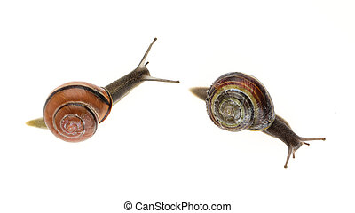Two garden snails Helix aspersa isolated on a white...